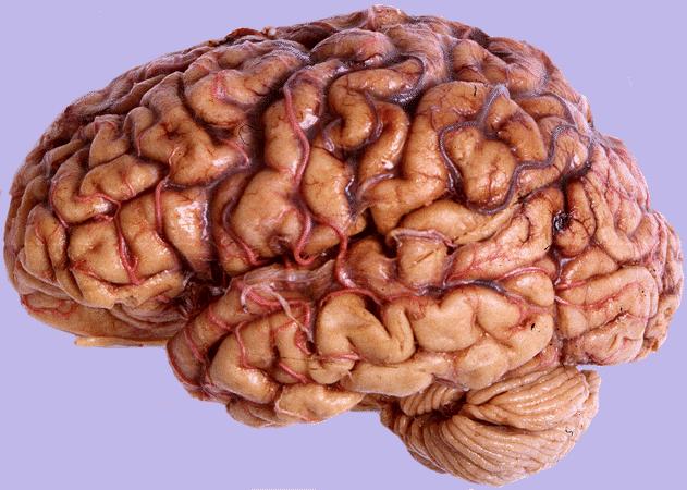 hersenen maken